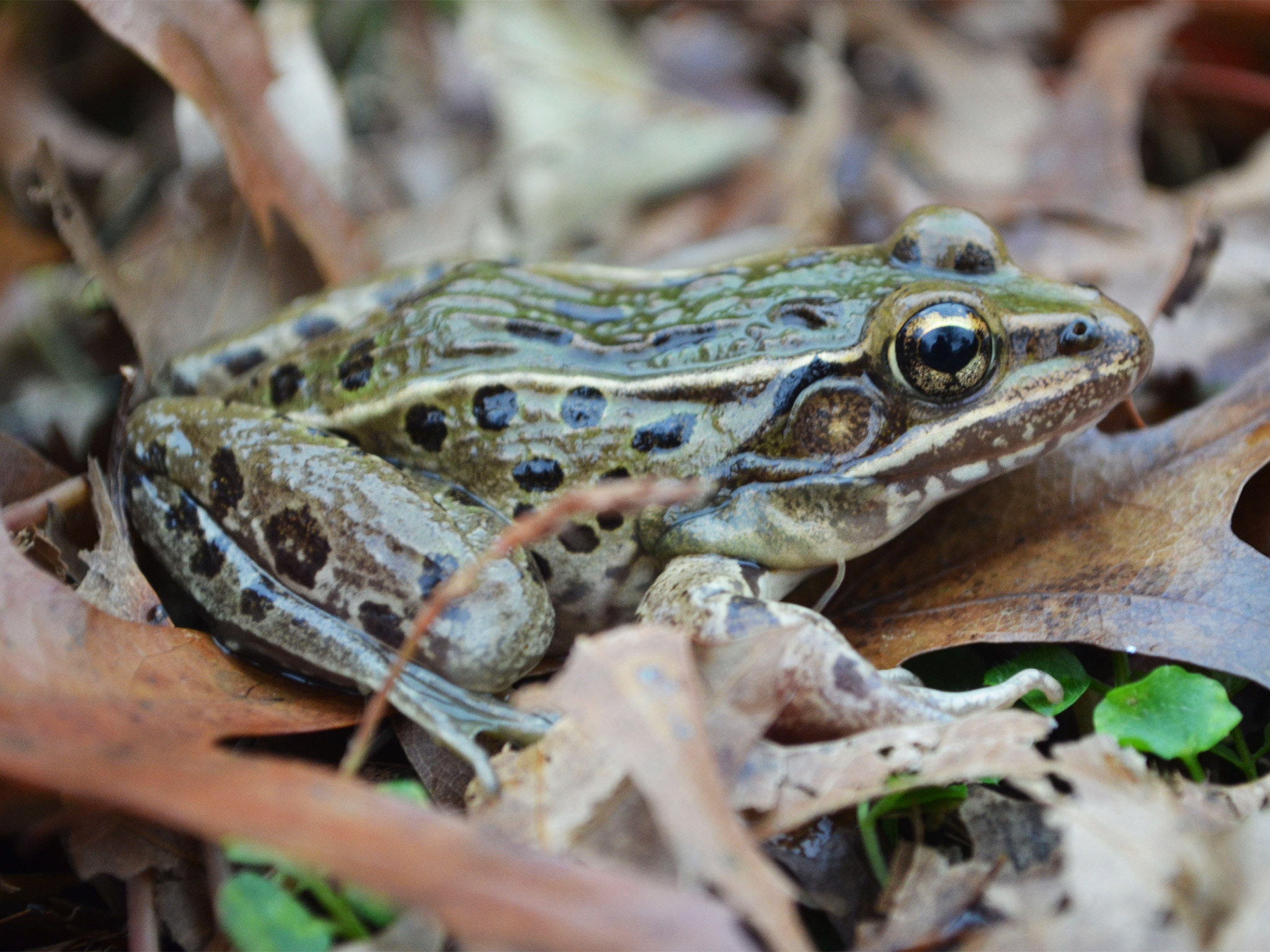 web-leopard-frog-rutgers(1).jpg